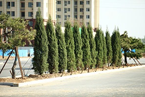 曙光道道路景观绿化工程